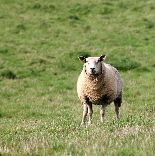 sheep-621167_640