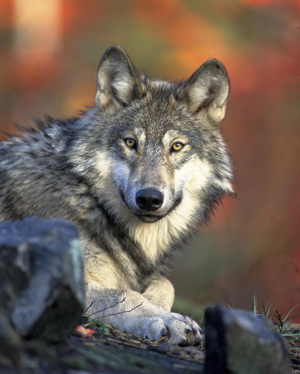wolf-62898_1280